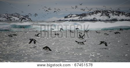 Many guillemots taking off over water