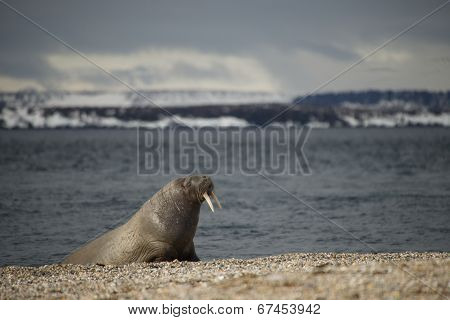 Walrus leaning on flippers on Arctic beach