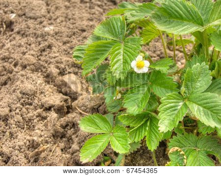 Strawberries Blossoms