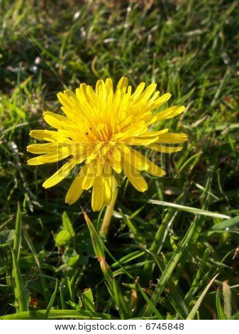 Dandilion Flower