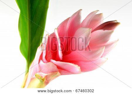 Pink ginger flower, Thailand