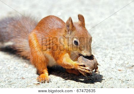 Squirrel gnaws walnut. Squirrel - a rodent of the squirrel family