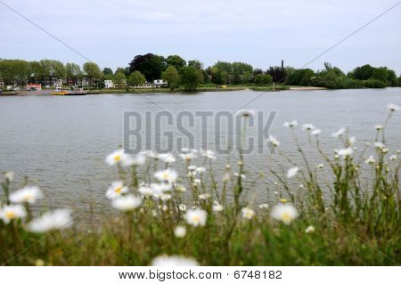 Daisies Near The River