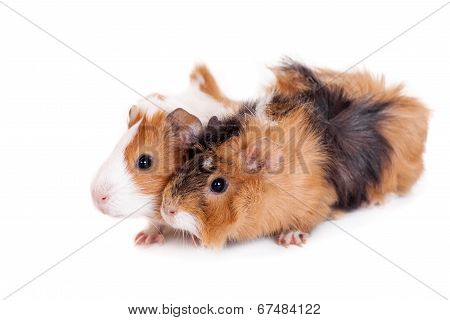 Two guinea pigs isolated