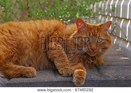 Focused Orange Tabby Cat