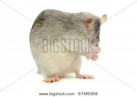 White laboratory rat on white