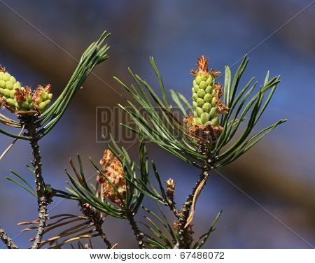 Eastern White Pine Cones