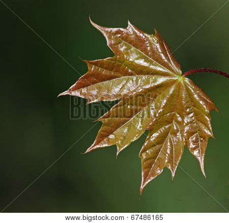 Shiny Maple Leaf