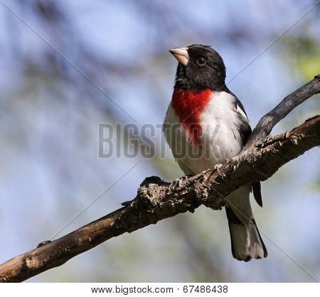 Inquiring Rose-Breasted Grosbeak