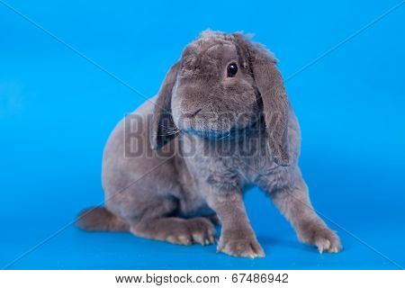 Grey lop-eared rabbit rex breed on blue