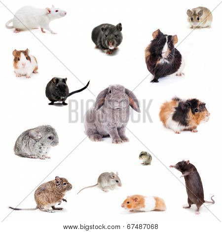 Set different spieces of rodents