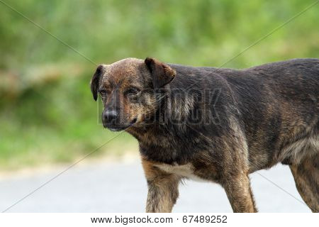 Feral Dog On The Street