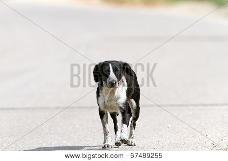 Feral Dog Walking On The Street
