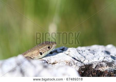 Juvenile Lacerta Viridis Hiding