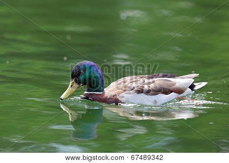Male Water Bird On Lake