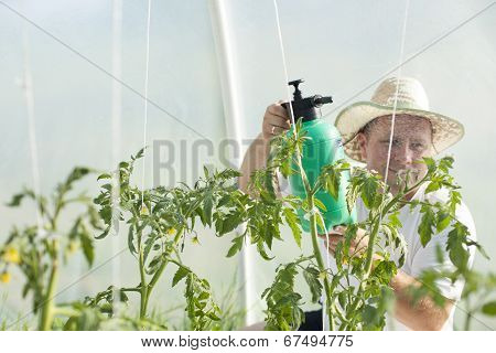 Man In Greenhouse Care About Tomato Plant