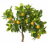 image of tangerine-tree  - a tangerine tree on the white background - JPG