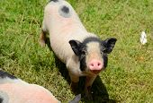 image of pot bellied pig  - Thai style Vietnamese Pot Belly piglet nursery house in Thai pig farm - JPG