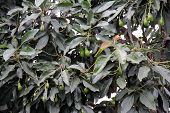pic of avocado tree  - Fresh Avocados growing in a tree  - JPG