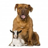 pic of dogue de bordeaux  - Young domestic goat and a Dogue de Bordeaux - JPG