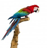 stock photo of green-winged macaw  - Red - JPG