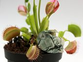 stock photo of flytrap  - Fly Trap plant caught the cash coin