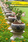 picture of desert-rose  - Desert rose or Ping Bignonia in pots ceramic - JPG