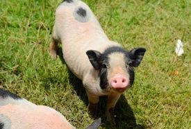 stock photo of pot-bellied  - Thai style Vietnamese Pot Belly piglet nursery house in Thai pig farm - JPG