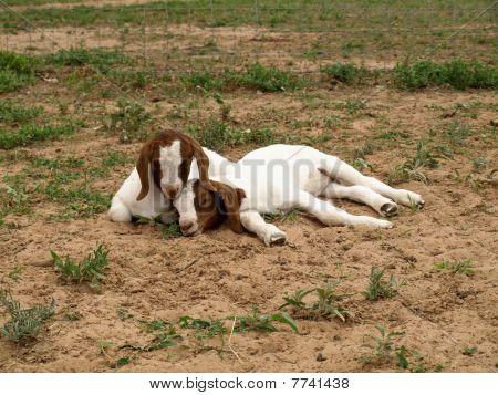 Little Goat Kids Sleeping