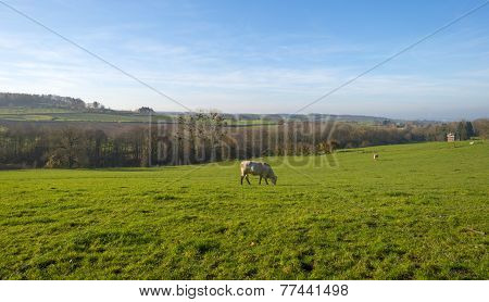 Cows in a hilly meadow at fall