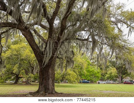 Spanish Moss In New Orleans Park
