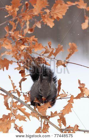 European Red Squirrel, Black Form