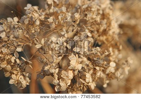 Dryed-up Hortensia