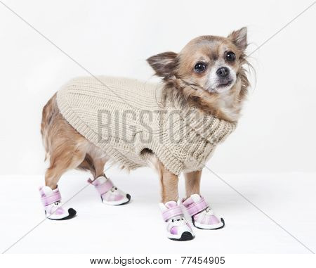 Chihuahua With Winter Clothes