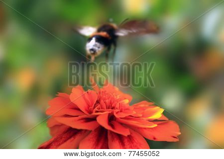 Bumble Bee Flies From Flower Calendula