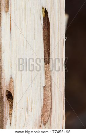 Round Headed Borer Larva In Oak Firewood