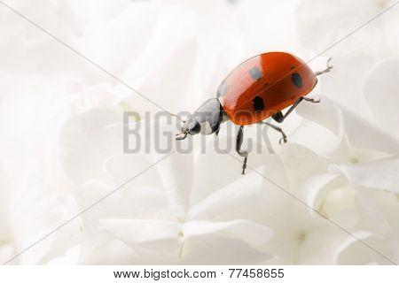Nice ladybug on big white blossom