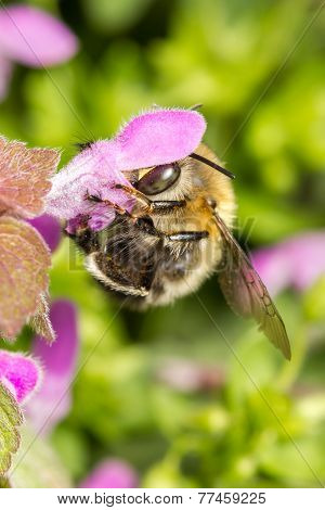 Bumblebee working on blossom