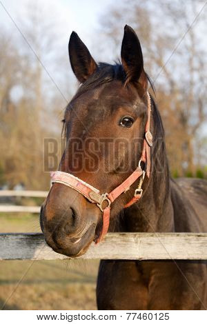 Head Shot Of A Purebred Saddle Horse Looking Over Corral Fence