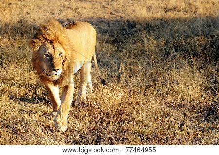 Lion (Panthera leo) on the Masai Mara National Reserve safari in southwestern Kenya.