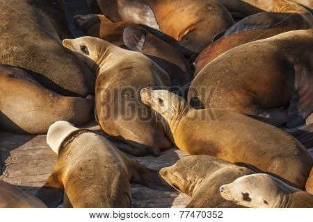 Sea Lions Resting On Dock