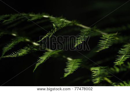 The Leaves Of Ferns Highlighted The Sun. Forest Vegetation.