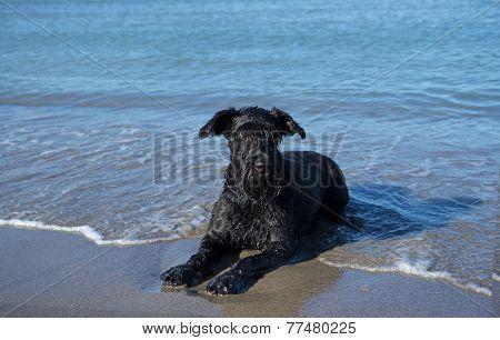 Big Black Schnauzer On Vacation At The Sea