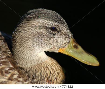 Duck Portrait