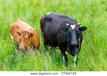 Black And Red Cow In A Green Pasture On Cattle Farm