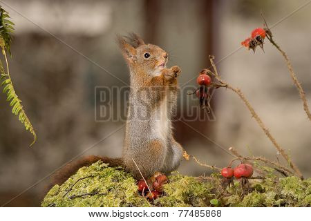 Squirrel Longing Brier