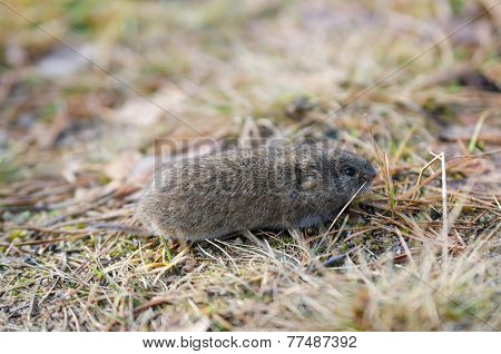 Mouse Vole, Close-up