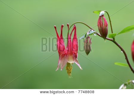 Red bell flowers