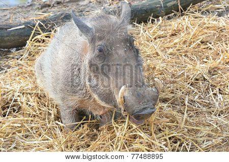 Single warthog