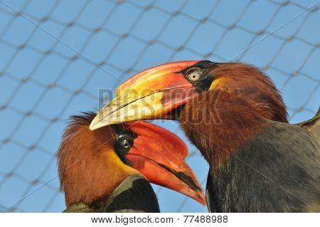 Bright beaked hornbills